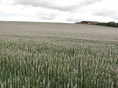 Could Lupins Provide an Alternative Source of Organic Protein?