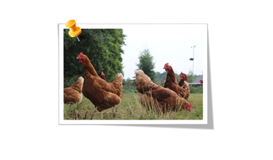 Mob grazing poultry for liver fluke control