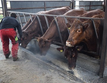 Feeding biochar to cows.JPG